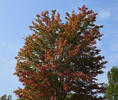 Maple Tree Turning, Maple Tree, Autumn, Fall, Red