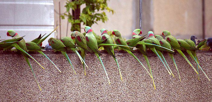 Parrots, Waiting In A Row, Breakfast Time, Bird