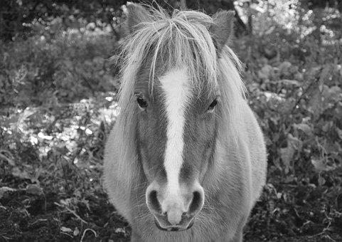 Shetland Pony, Photo Black White, Domestic Animal