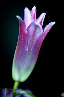 Lily, Bud, Plant, Nature, Close, Blossom, Bloom, Garden