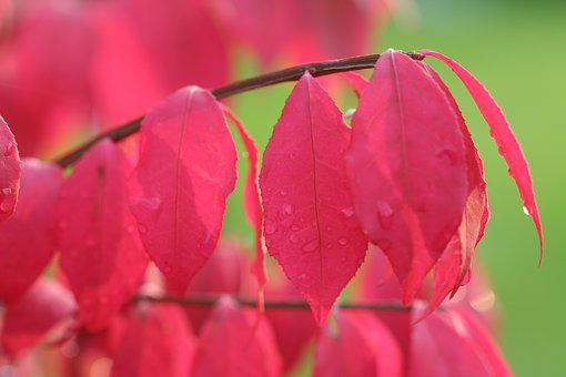 Charcoal Winged Dwarf, Red Leaf, Fall, Autumn Leaf, Red