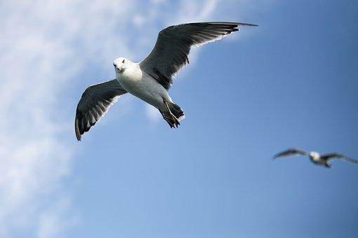 Seagull, Sea, Times, Fly, Sky, Sea Birds
