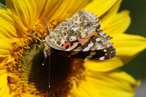 Painted Lady, Butterfly, Sunflower