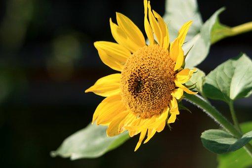 Sun Flower, Summer, Yellow, Blossom, Bloom, Nature