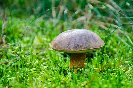 Boletus-boletus, Chestnut, Mushroom, Forest, Brown Cap