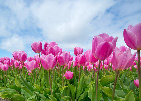 Pink, Tulip, Bulb, Field, Spring, Flower, Nature
