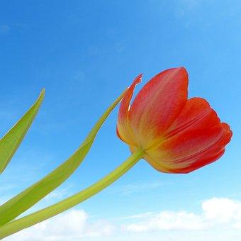 Tulip, Flower, Sky, Spring, Nature, Summer, Floral
