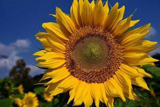 Sun Flower, Sky, Blue, Yellow, Summer, Field, Flower