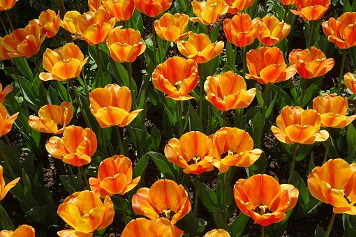 Tulips, Garden, Plant, Spring, Nature, In The Garden