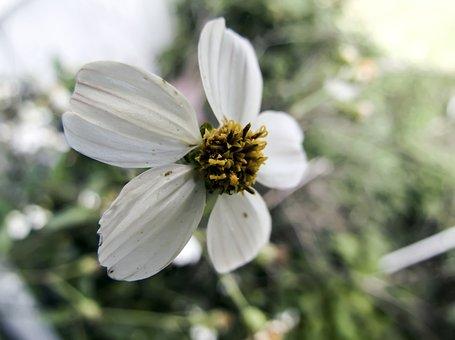 White, Wildflower, Macro