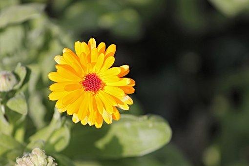 Marigold, Calendula Officinalis, Gardening, Blossom