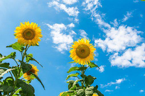Sunflower, Sunny Day, Sky, Blue Sky, Landscape, Nature