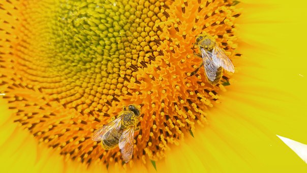 Sunflower, Flower, Bee, Nature