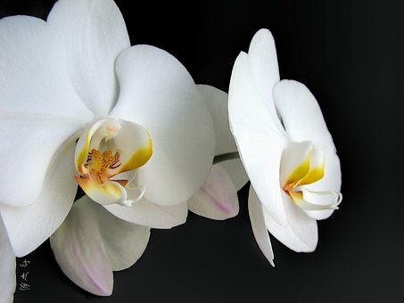 Orchids, White, Flower, Nature, Tropical, Plant, Bloom