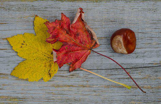 Fall, Leafs, Chestnut, Red, Yellow, Maple, Autumn