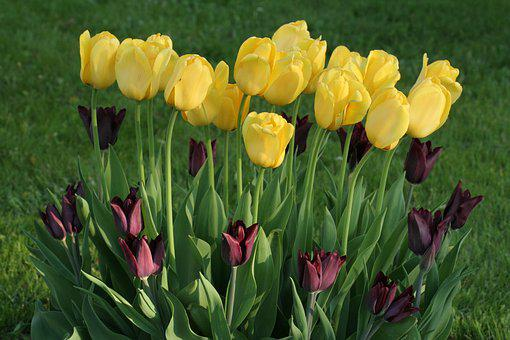 Tulips, Flowers, Yellow, Spring, Colors, Tulip Spring