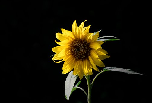 Sunflower, Bloom, Yellow, Summer, Plant, Field, Nature