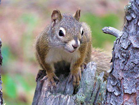 Squirrel, Tree, Rodent, Forest, Wildlife, Animal