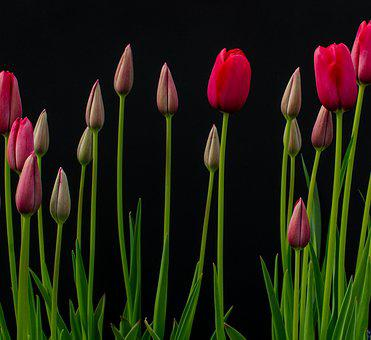 Flowers, Tulips, Bloom, Red, Flora, Nature