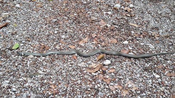 Grass Snake, Snake, Road, Water, Nature, White, Ear