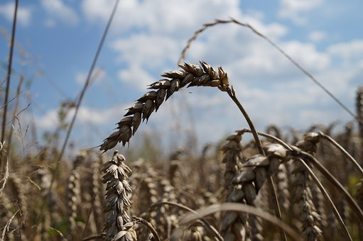 Cereals, Close, Field, Nature, Macro, Agriculture