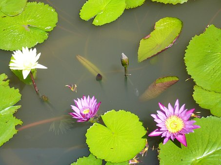 Pond, Aquatic Plant, Pink Water Lily