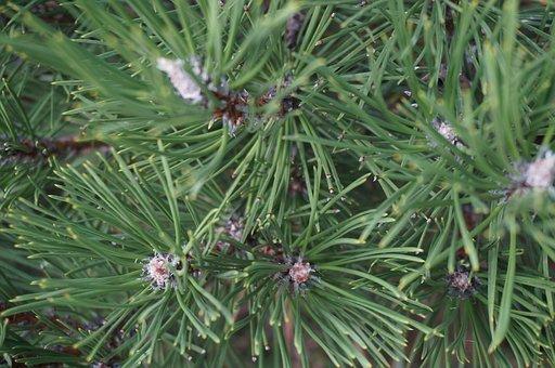 Pine, Tree, Forest, Needles, Green, Evergreen Tree