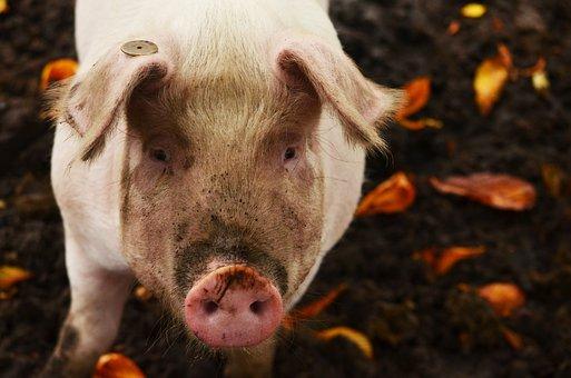 Pig, Mud, Dirty, Leaves, Petting, Nose, Farm