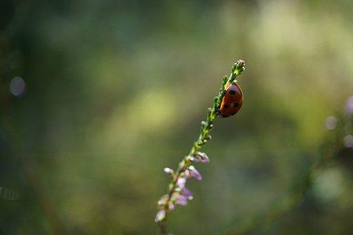 Ladybug, Flower, Sun, Insect, Close, Nature