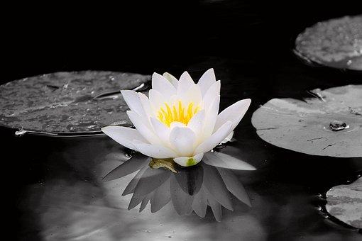 Pond, Waterlilies, Aquatic Plants, Flowers, Water
