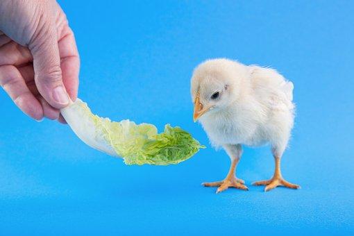 Animal, Peak, Chick, Food, Feathers, Fingers, Focus