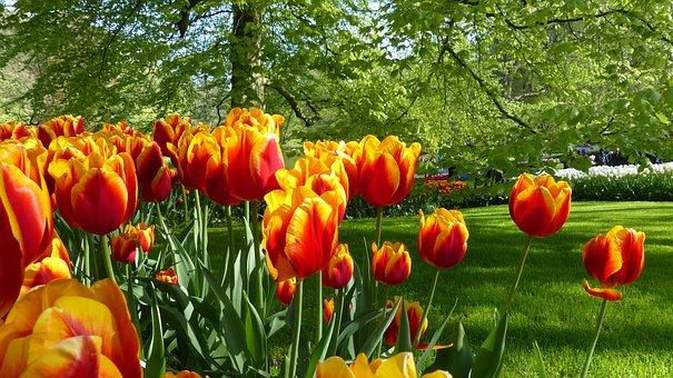 Tulip, Flower, Garden, Keukenhof, Amsterdam, Botany