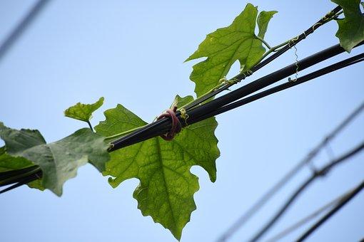Blue Sky, Green Leaf, Telephone Poles, Leaf, Plant