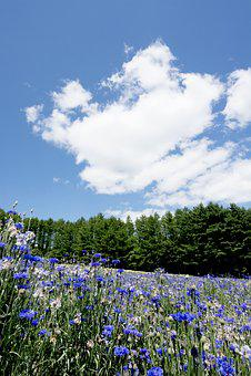 Japan, Hokkaido, Furano, Lavender