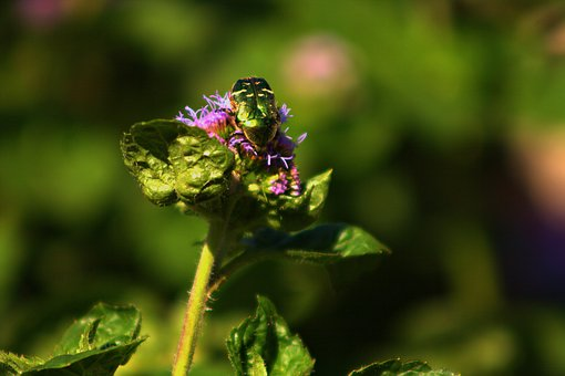 Green, Beetle, Insect, Plant, Nature, Flower