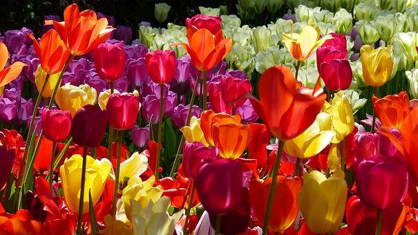 Tulip, Flower, Garden, Keukenhof, Amsterdam, Flora