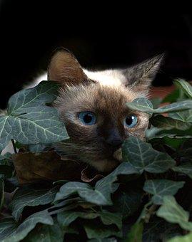 Cat, Burmese, Blue Eyes, Hidden, Leaves, Nice