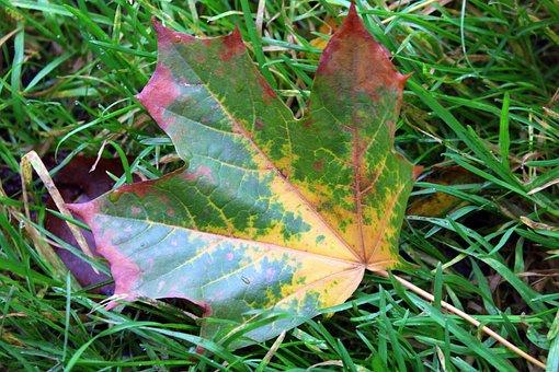 Maple Leaf, Autumn Leaf, Colors, Nature, Colour, Autumn