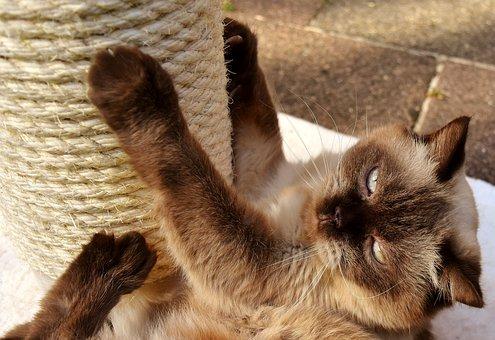 British Shorthair, Cat, Kratzbaum, Play, Pet, Mieze