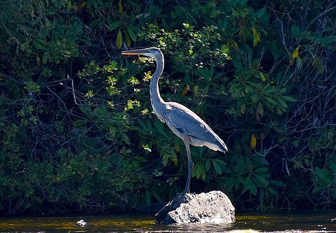 Blue Heron, Bird, Aquatic, Natural, Animal, Water