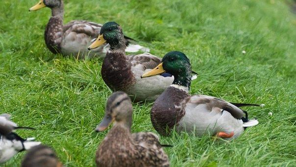 Duck, Park, Water, Pond, Bird, Wild Birds, Water Bird