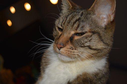Cat, Feline, Pet, Cute, Domestic, Sweet, Tabby, Animal
