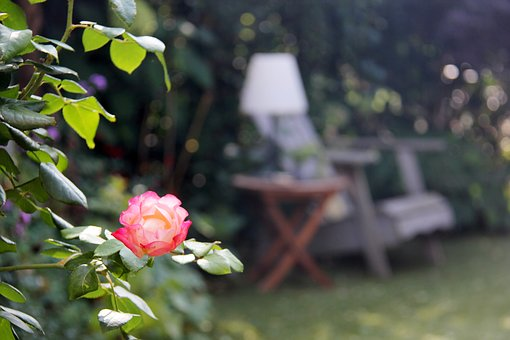 Rose, Garden, Chair