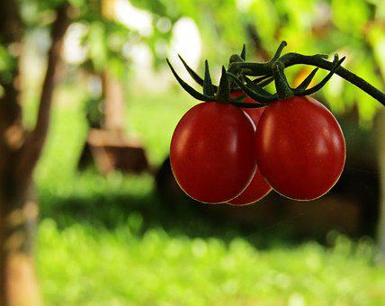 Tomatoes, Plants, Garden, Foods, Cultivate, Fruit