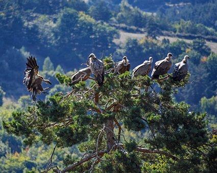 Vulture, Tree, Raptor, Bird, Scavenger, Perched