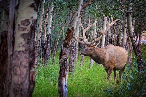 Elk, Forest, Nature, Wildlife, Animal, Wild, Antlers