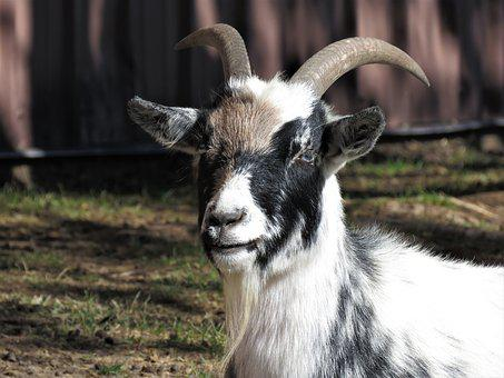 Goat, Farm Animal, Animal, Farm, Horns
