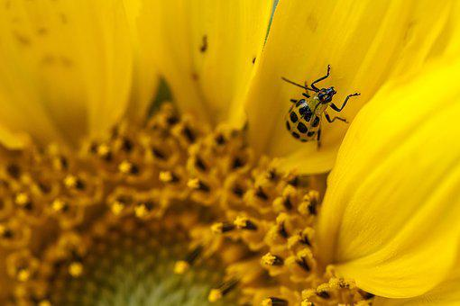 Spotted Cucumber Beetle, Beetle, Bug, Flower, Insect