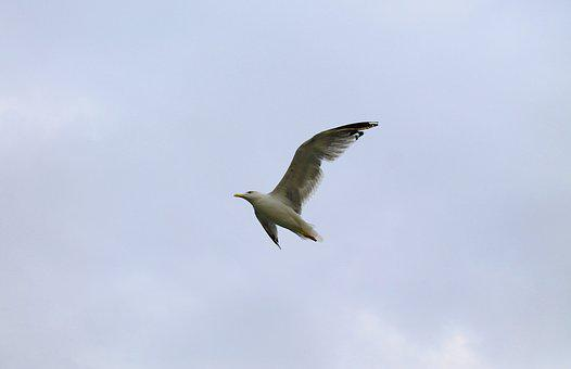 Seagull, Flight, Wings, Bird, Ave, Sky, Fly, Flying