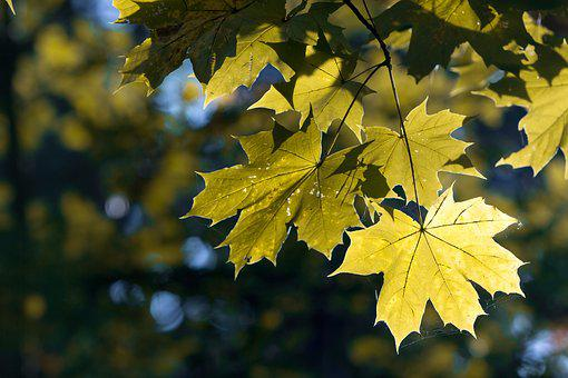 Autumn, Leaves, Maple, Branch, Yellow, Maple Leaf